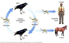 west nile virus cycle