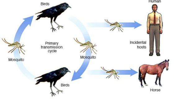 west nile virus cycle