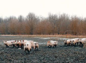 il Porco del Parco, foto Luca Ferrari