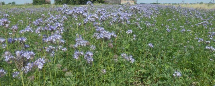 campo di fiori viola, cascina abbandonata, Polesine