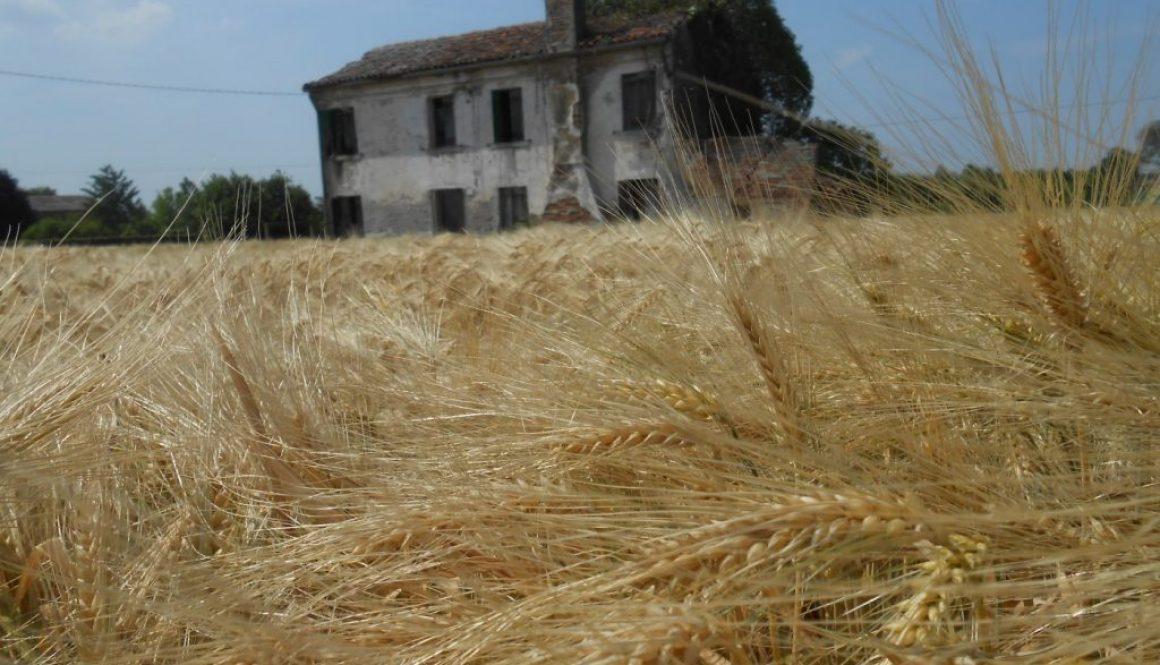 grano maturo, cascina abbandonata, Polesine